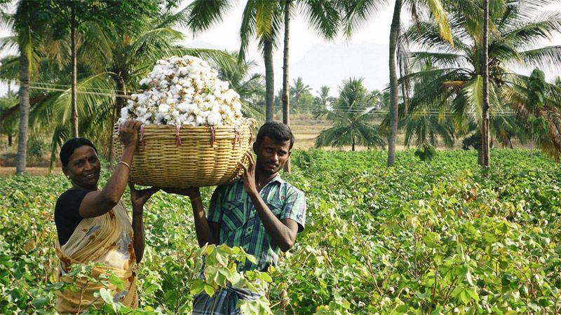 Kalaivani's bumper cotton harvest (Indiawaterportal.org)