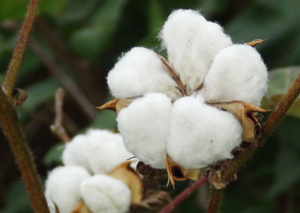 Algodón ecolóxico. Organic-Cotton-(indiawaterportal.org)
